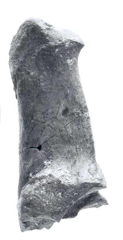 Bone of early deer