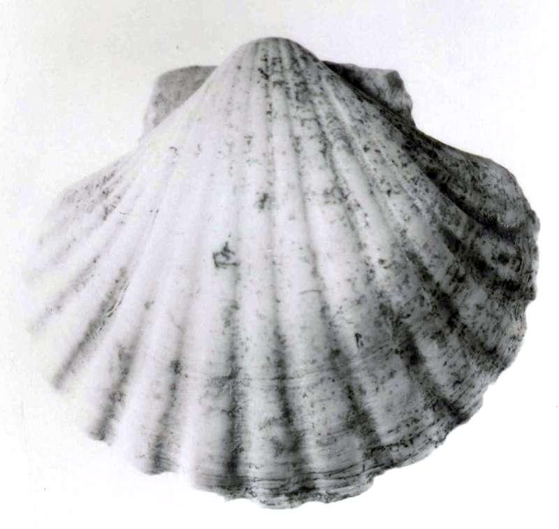 Red sea scallop