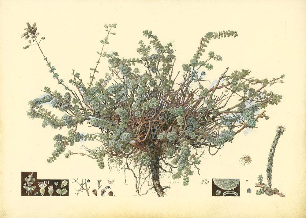 שמואל חרובי, 1897–1965 אזוב מצוי, 1927-1923 גואש, צבעי-מים וגרפיט על נייר, 25.3x35 ס