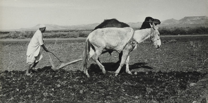 Morocco, farmer plowing