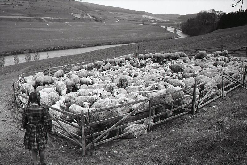 גרמניה, עדר כבשים